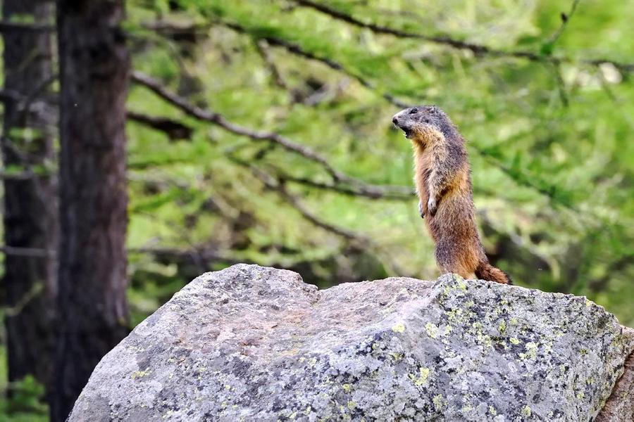 Marmotte dans le parc du Mercantour