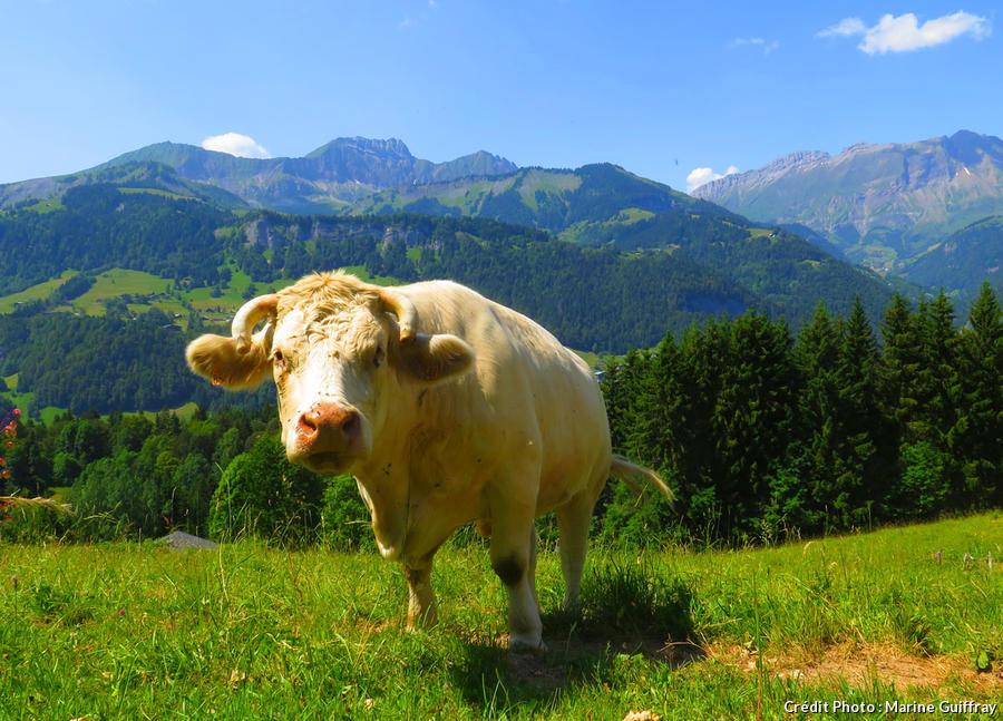 Vache dans les montagnes du Val d'Arly
