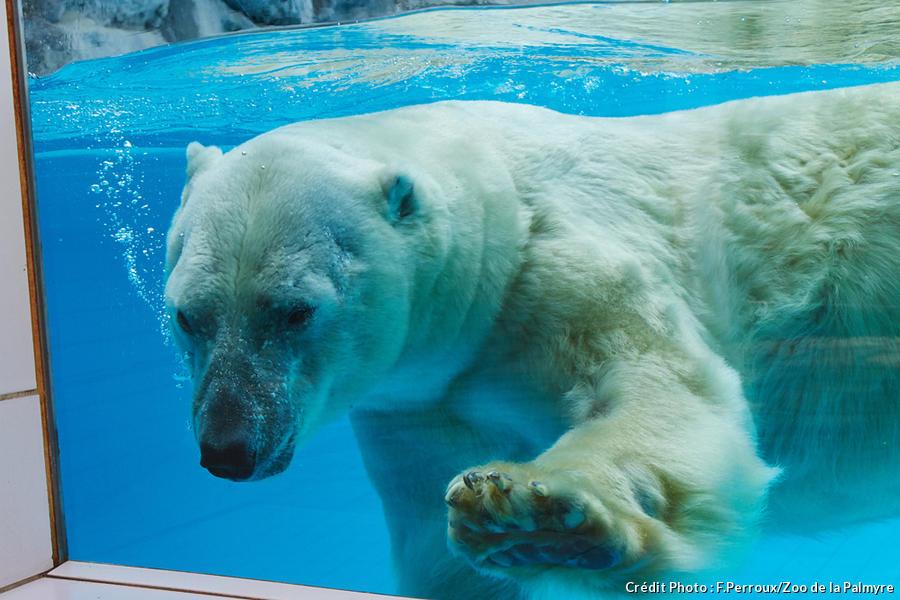 Ours polaire du zoo de la Palmyre