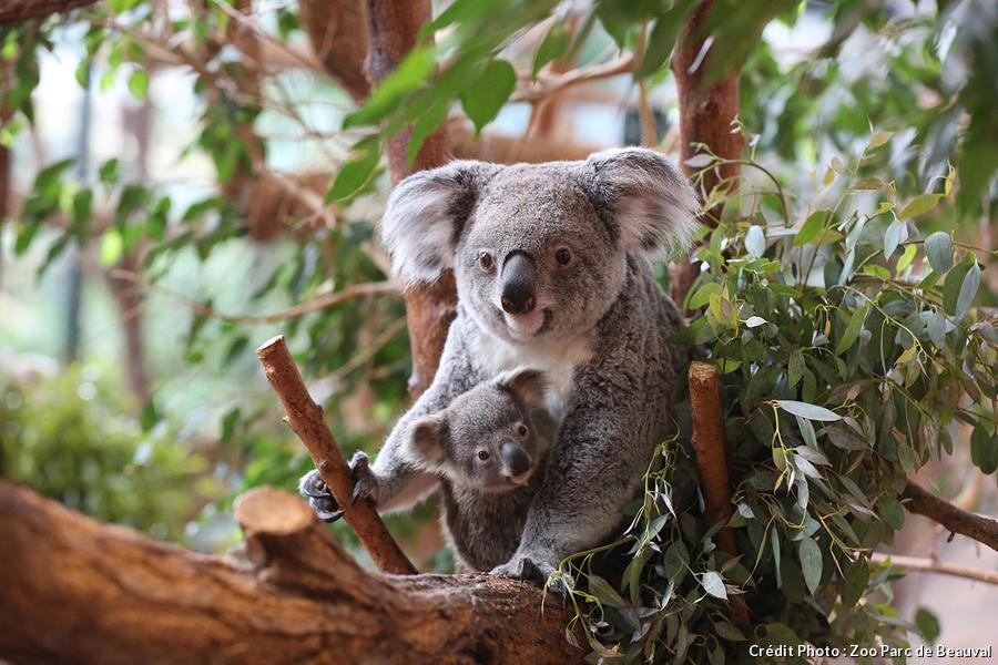 Koala adulte avec son bébé à Beauval