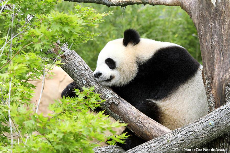 L'un des deux pandas géants de Beauval