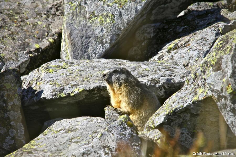 marmotte de la réserve naturelle de la Vallée de Chaudefour