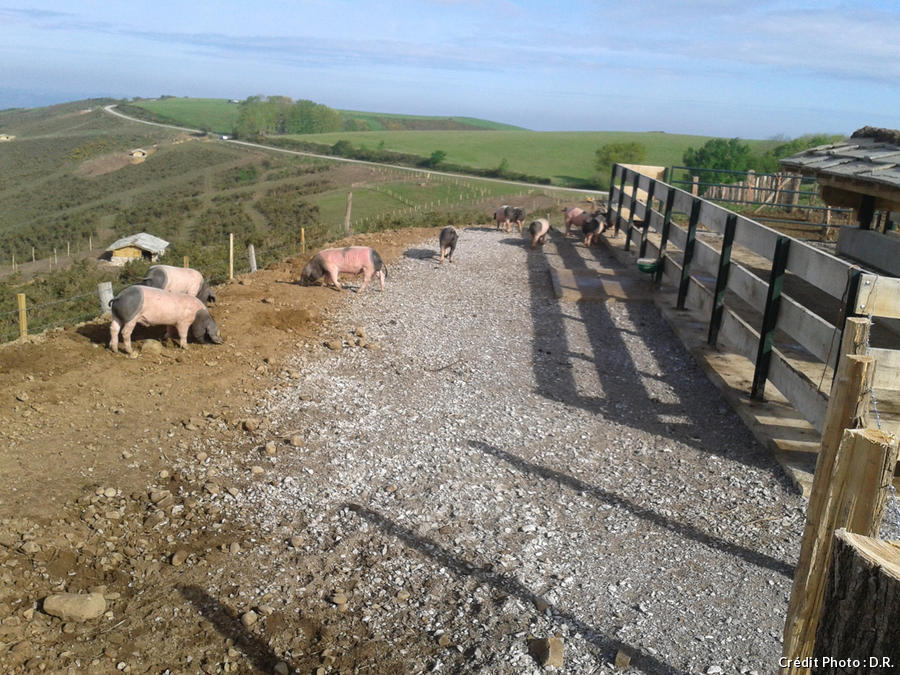 Sare, élevage de porcs