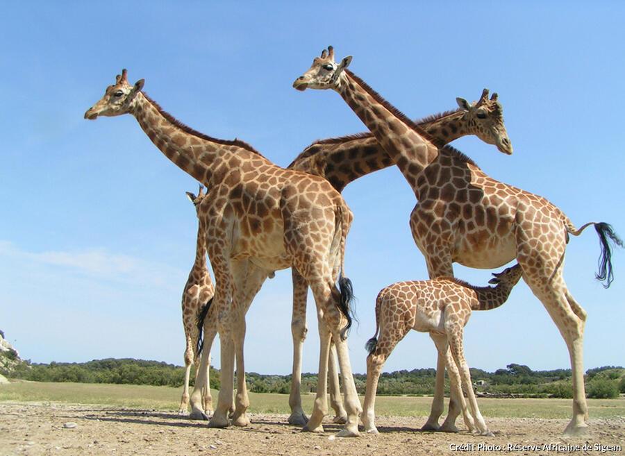 girafes.peralta.ras_.jpeg