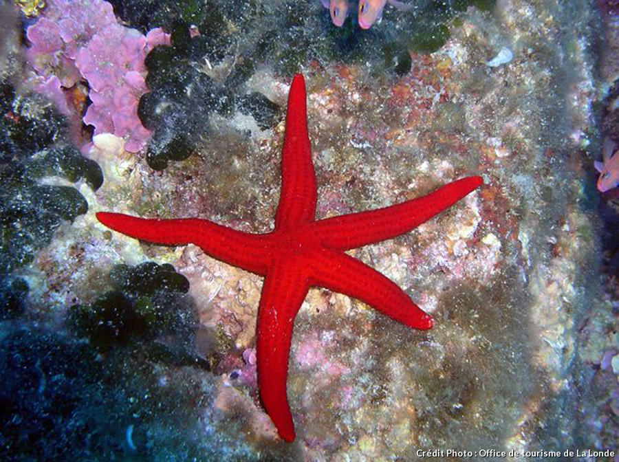 Étoile de mer rouge à la Londe-les_maures