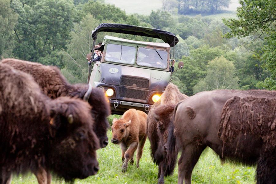 Elevage du Palais - safari avec des bisons