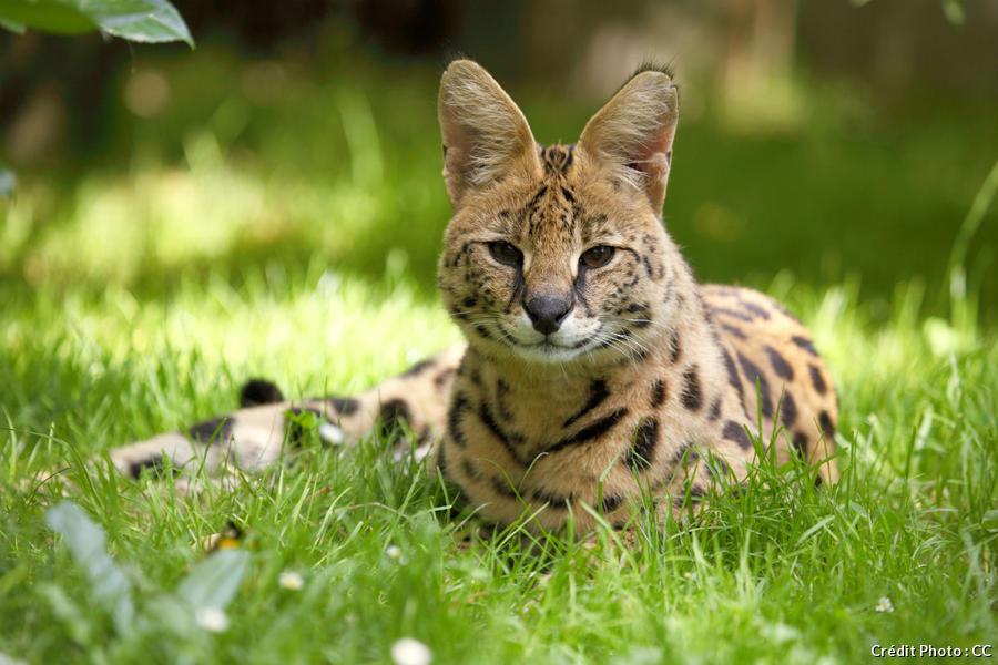 serval au parc zoologique d'Amiens