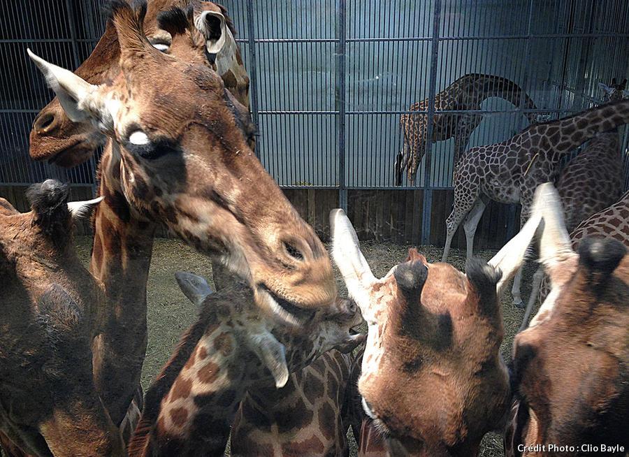 Le petit déjeuner des girafes