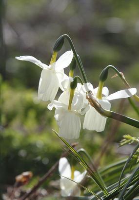 Le narcisse des Glénan, une fleur unique au monde