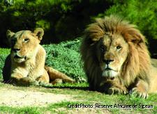 couple_lions_2.jpg