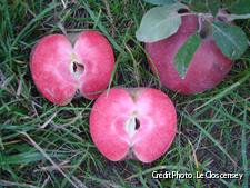 les pommes à chair rouge du clos cerisey